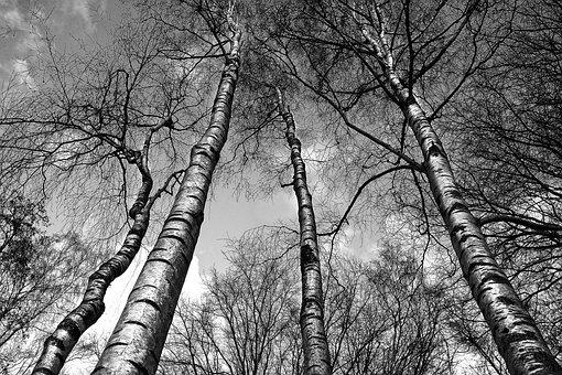 Birch, Birch Trees, Trunk, White, Bark, White Bark