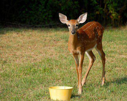 Mammal, Deer, Grass, Animal, Fawn, Wildlife, Nature