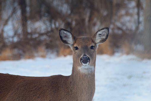 Deer, Wildlife, Mammal, Winter, Snow, Outdoor, Cold