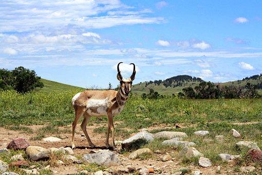Nature, Grass, Animal, Field, Antelope, Pronghorn