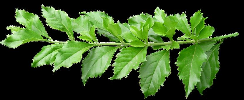 Leaves, Stem, Green, Plant, Branch