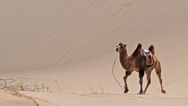 Mongolia, Desert, Sand, Camel