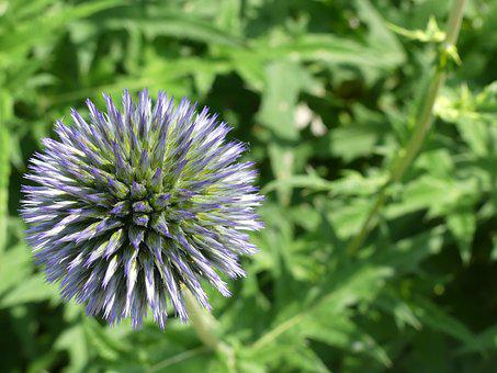 Globe Thistle, Plant, Nature, Summer, Flower, Close