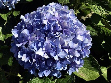 Hydrangea, Blue, Flower, Close Up, Garden, Nature