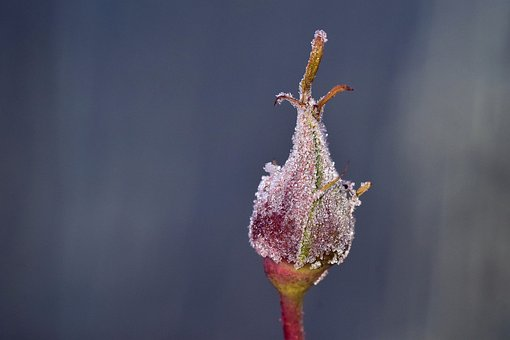 Frost, Winter, Cold, Bud, Rosebud, Frozen, Ice