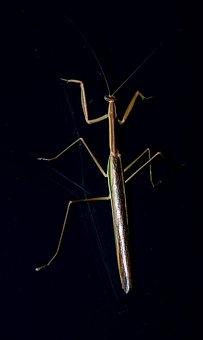 Praying Mantis, Mantid, Mantis, Insect, Large, Shiny