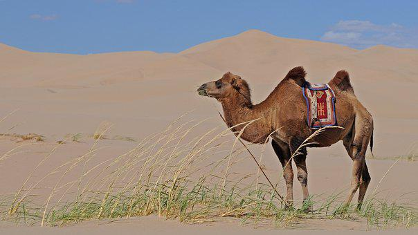 Mongolia, Desert, Camel, Sand, Sand Dunes
