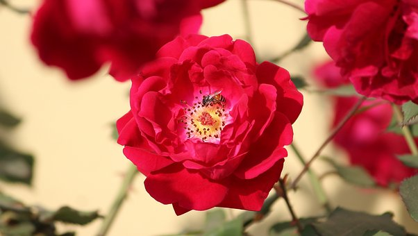 Rose, Rosa, Flower, Honey Bee, Plant, Floral, Red