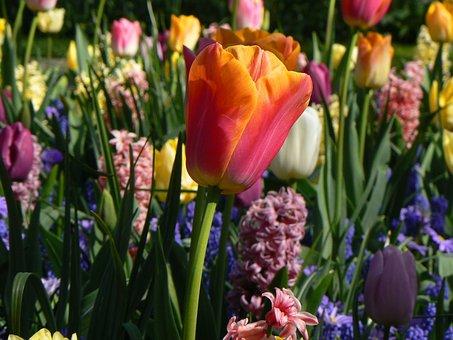 Plant, Nature, Garden, Spring, Keukenhof, Close Up, Red