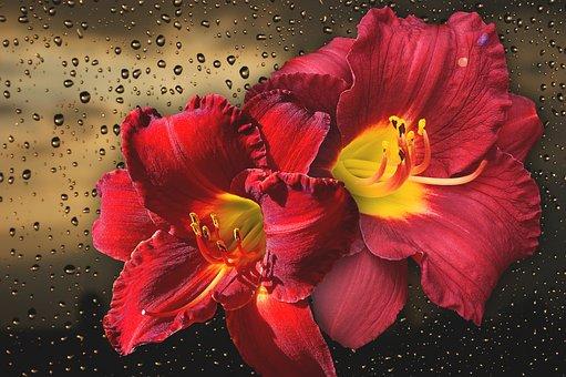 Flower, Nature, Beautiful, Plant, Summer, Rainy, Lily