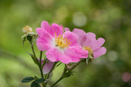 Flower, Rose, Wild Rose, Blossom, Bloom, Nature, Plant