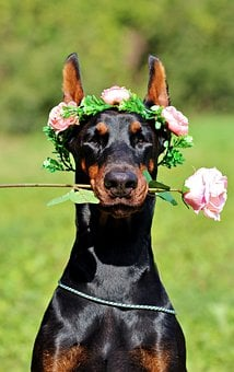 Doberman, Dog, Rose, Portrait, Nice, Wreath