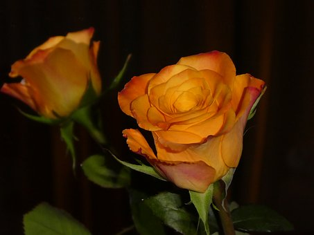 Rose, Mirroring, Blossom, Bloom, Yellow, Orange