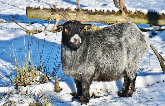 Goat, Wildlife Park, Bock, Horns, Livestock, Billy Goat