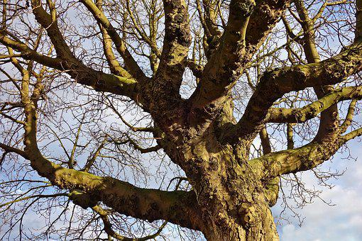 Tree, Old Tree, Gnarled, Branch, Trunk, Bark, Deciduous