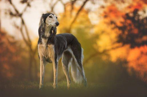 Nature, Dog, Greyhound, Saluki, Pet, Animal, Love