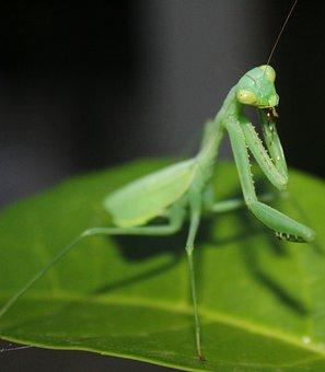 Invertebrate, Insect, Mantis, Grasshopper, Antenna