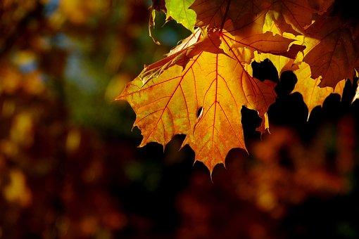 Autumn, Leaf, Nature, Maple, Season, Golden, Close