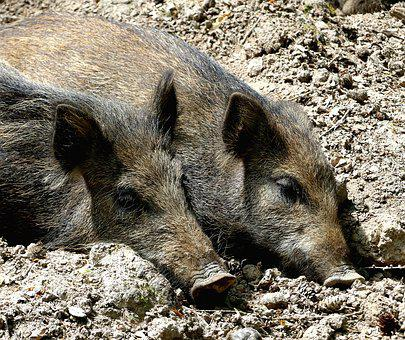 Wild Boar, Animal World, Mammal, Nature, Animal, Mud