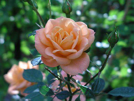 Rose, Orange, Flower, Plant, Nature, Blossom, Bloom