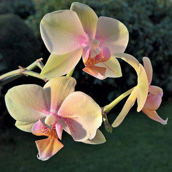 Flower, Orchid, Phalaenopsis, Flower Panicle