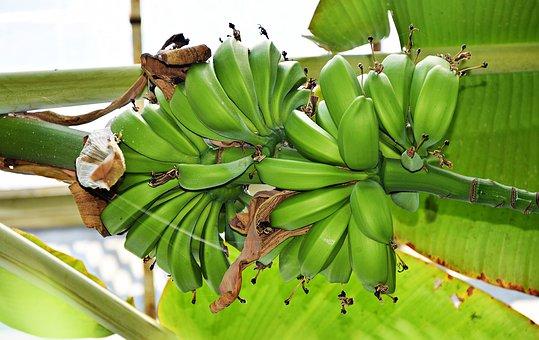 Banana, The Tropical, Plant, Fruit, Eating, Plantation