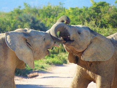Elephant, Animal World, Mammal, Ivory, Nature, Wild