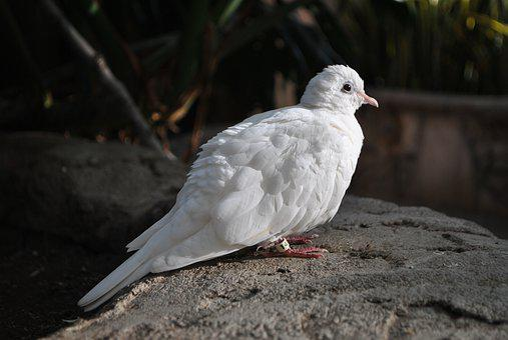 Bird, Dove, Feathers, White, Pigeon, Domestic Dove, Zoo