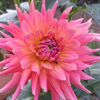 Flower, Bright Pink, Dahlia, L Beautiful