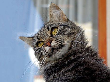 Cat, Cat European, Gatto Soriano, Calico Cat, Cats