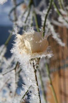 Nature, Frost, Winter, Plant, Season, Flower, Close