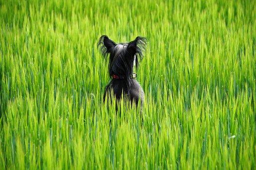 Dog, Field, Green Grain, Summer