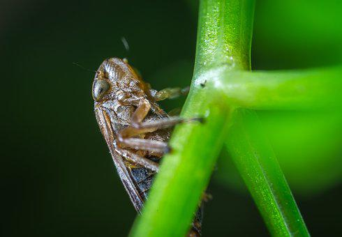 Macro, Insect, For Ordinary High Rot Leafhopper, Stem