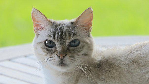 Cat, Head, Curious, Careful, White Grey, Blue Eyes