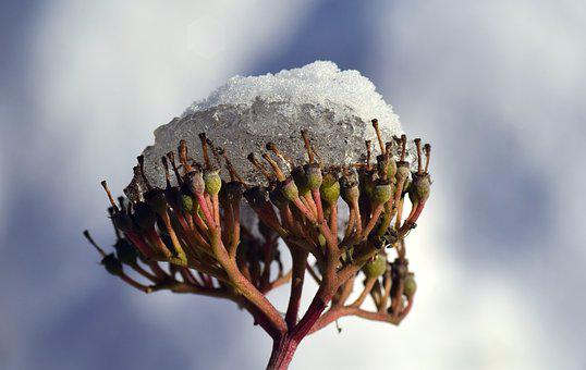 Snow, Seeds, Faded, Plant, Winter, Cold, Clouds, Ice