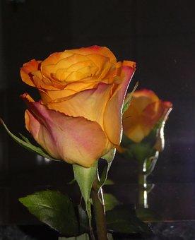 Rose, Mirroring, Yellow, Orange