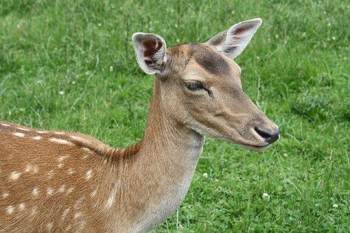 Grass, Mammal, Animal, Hirsch, Nature