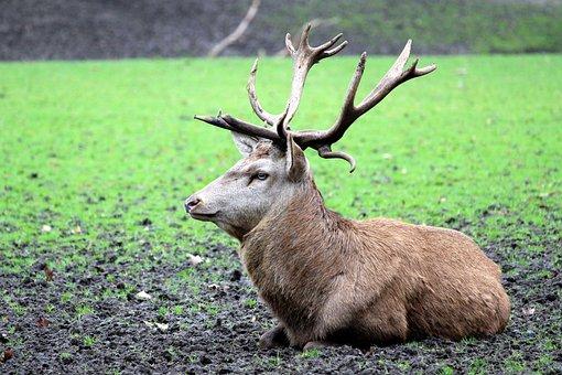 Mammal, Grass, Animal, Hirsch, Nature, Animal World