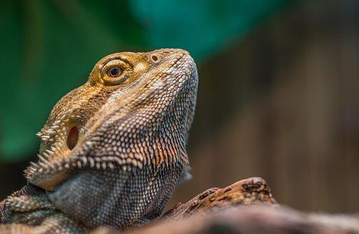 Nature, Reptile, Living Nature, Lizard, Animals
