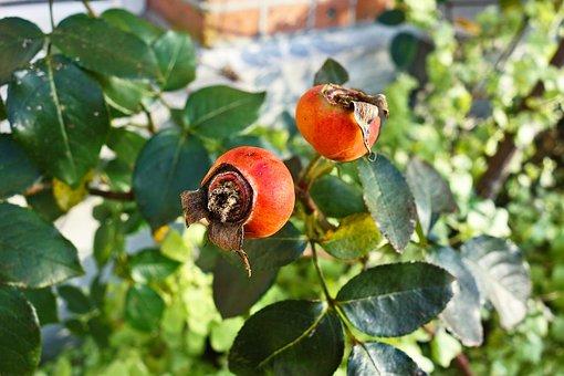 Rose Bush, Rose, Rose Hip, Fruit, Food, Medicine