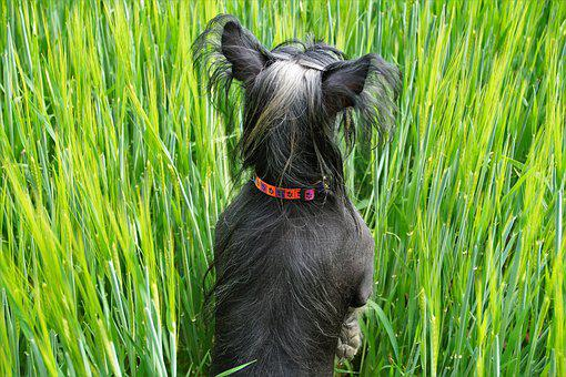 Dog, In The Grain, Green Grain, Field, Summer, See
