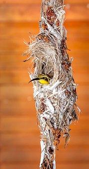 Bird, Sunbird, Nature, Nest, Birds Nest, Closeup