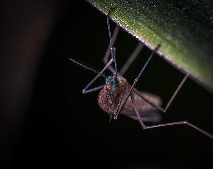 Insect, The Mosquito, Bespozvonochnoe, Animals, Nature
