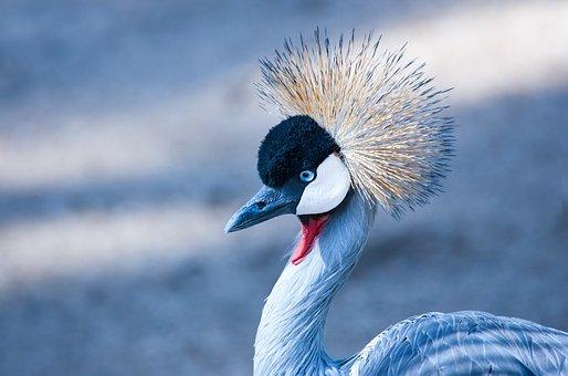 Grey Crowned Crane, Headshot, Portrait, Eye, Bird