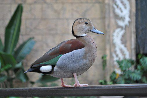 Bird, Animal, Feather, Ringed Teal, Duck, Zoo, Brown