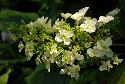 Flower, Hydrangea Dębolistna, Garden, Petal