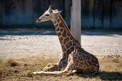 Nature, Wildlife, Animal, Mammal, Giraffe, Spots, Brown