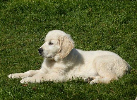 Dog, Pup, Puppy Lying Down, Dog Lying, Golden Retriever