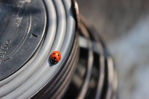 Beetle, Ladybug, Animal, Summer, Garden