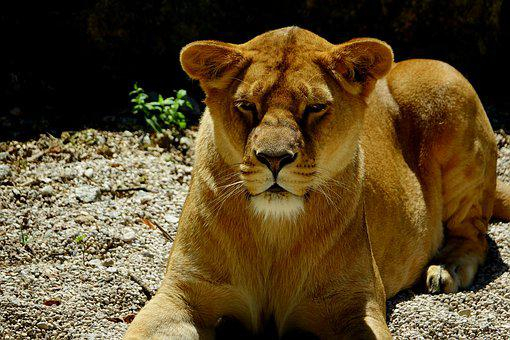 Mammal, Lioness, Animal, Nature, Zoo, Carnivores